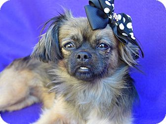Pekingese Mix Dog for adoption in Irvine, California - Tory