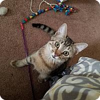 Domestic Shorthair Cat for adoption in Valley Village, California - Billie