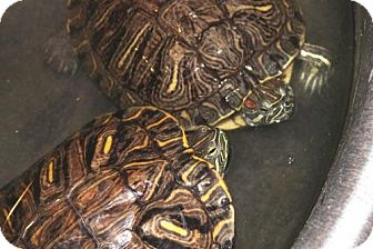 Turtle - Other for adoption in Ellicott City, Maryland - 23272 - Crush and Squirtle