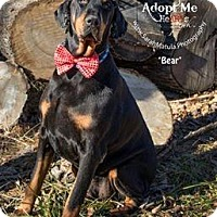 Adopt A Pet :: Bear - New Milford, CT