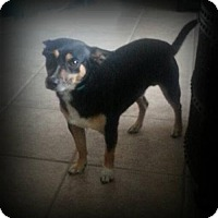 Adopt A Pet :: Corbett - Spring, TX