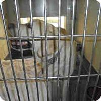 Adopt A Pet :: GENESIS A041034 @ Upland - Beverly Hills, CA