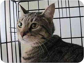 Domestic Shorthair Cat for adoption in Orange City, Florida - Jewel (Carol)