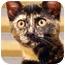 Photo 1 - Domestic Shorthair Kitten for adoption in Encinitas, California - Chocolate