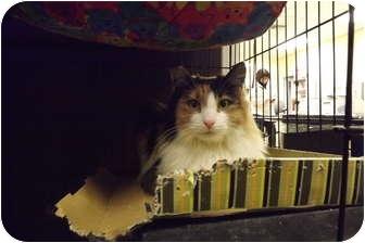 Calico Cat for adoption in Modesto, California - Shar Pei