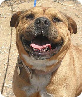 Bullmastiff/Boxer Mix Dog for adoption in Apple Valley, California - Matilda