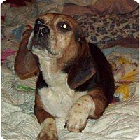 Beagle Dog for adoption in Mtn Grove, Missouri - Rory