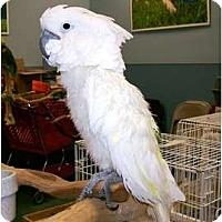Adopt A Pet :: Charlie - Shawnee Mission, KS