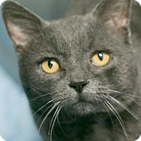 Domestic Shorthair Cat for adoption in Manteo, North Carolina - Grits