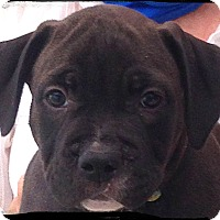 Adopt A Pet :: Pearl - Johnson City, TX
