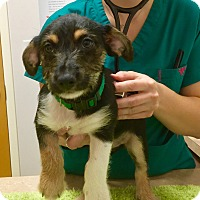 Adopt A Pet :: Sock - Virginia Beach, VA