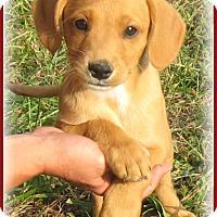 Adopt A Pet :: Buddy- ADOPTION PENDING - Marlborough, MA