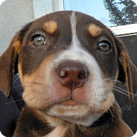 Adopt A Pet :: Baby Almond Joy - Oakley, CA