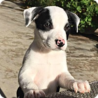 Adopt A Pet :: Mitzy - Yuba City, CA
