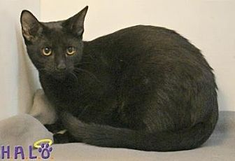 Domestic Shorthair Cat for adoption in Sebastian, Florida - Sarah