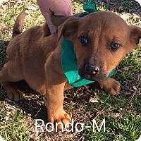 Adopt A Pet :: Rondo - Trenton, NJ