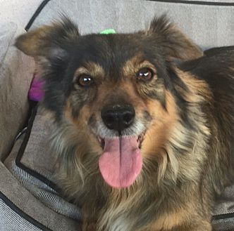 Sheltie, Shetland Sheepdog/Chihuahua Mix Dog for adoption in Canoga Park, California - Bennie