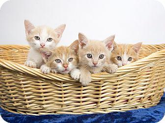 Domestic Shorthair Kitten for adoption in Nashville, Tennessee - Kittens, Kittens, Kittens!