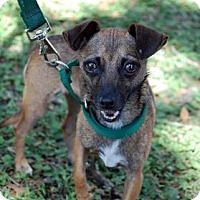Adopt A Pet :: Little Bit - Bradenton, FL