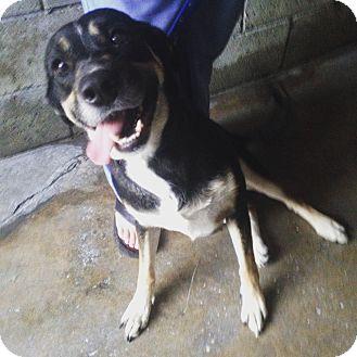Shepherd (Unknown Type)/Labrador Retriever Mix Dog for adoption in Pompton Lakes, New Jersey - Vanna