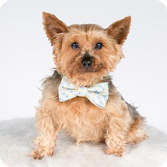 Yorkie, Yorkshire Terrier Dog for adoption in St. Louis Park, Minnesota - Angus