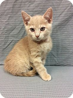 Domestic Shorthair Kitten for adoption in Moody, Alabama - Lock