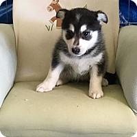 Adopt A Pet :: Shanook - Encino, CA