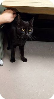 Domestic Mediumhair Cat for adoption in Virginia Beach, Virginia - Zuzu