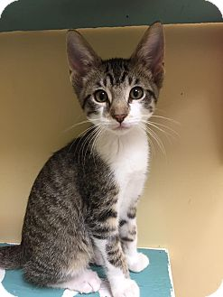 Domestic Shorthair Kitten for adoption in Maryville, Missouri - Sunny