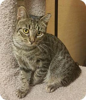 Domestic Shorthair Kitten for adoption in McKinney, Texas - Sweetie