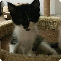 Domestic Shorthair Kitten for adoption in Yorba Linda, California - Daisy Mae