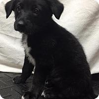 Adopt A Pet :: Oliver - Joplin, MO