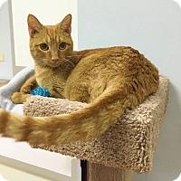 Adopt A Pet :: Shandy - Littleton, CO