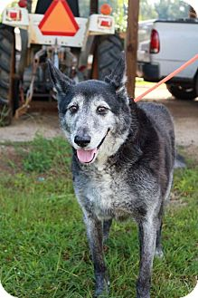 Australian Cattle Dog/Norwegian Elkhound Mix Dog for adoption in Summerville, South Carolina - Larry