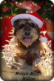 Terrier (Unknown Type, Medium)/Schnauzer (Standard) Mix Dog for adoption in Dixon, Kentucky - Willow
