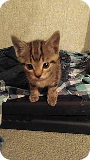 Domestic Shorthair Kitten for adoption in Golsboro, North Carolina - MARCUS