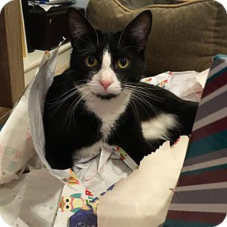 Domestic Shorthair Cat for adoption in Valley Park, Missouri - Damian