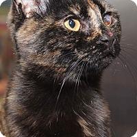 Domestic Shorthair Kitten for adoption in Media, Pennsylvania - Cleo