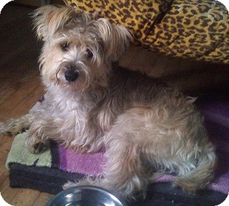 ... , Yorkshire Terrier Mix Dog for adoption in Hamilton, Ontario - Cain