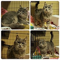 Adopt A Pet :: Purrsee - Ocean City, NJ