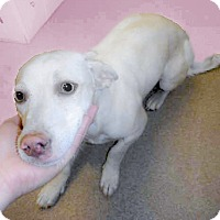Adopt A Pet :: Snowflake blue eyes - Sacramento, CA