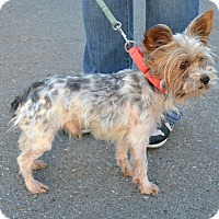 Adopt A Pet :: Duke - Gig Harbor, WA
