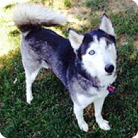 Adopt A Pet :: Niki - Wilmington, MA