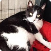 American Shorthair Cat for adoption in New Orleans, Louisiana - Billy Bob