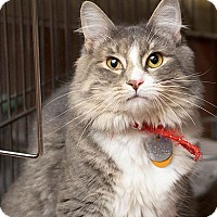 Adopt A Pet :: Pretty Kitty - Port Washington, NY