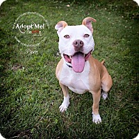 Adopt A Pet :: Piper - Glenolden, PA