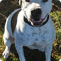 American Staffordshire Terrier Dog for adoption in Tucson, Arizona - Kate