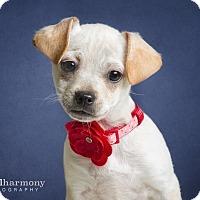 Adopt A Pet :: Comet - Chandler, AZ