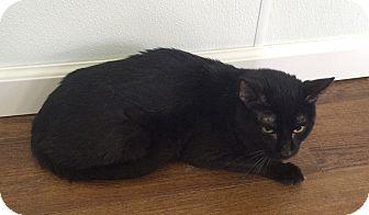 Domestic Shorthair Cat for adoption in Greensburg, Pennsylvania - Zooks