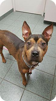 Pit Bull Terrier Mix Dog for adoption in Sacramento, California - Brooklyn